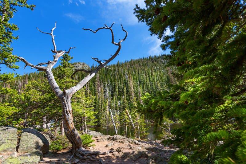 Torrt träd mot berget med vintergröna trän royaltyfria foton