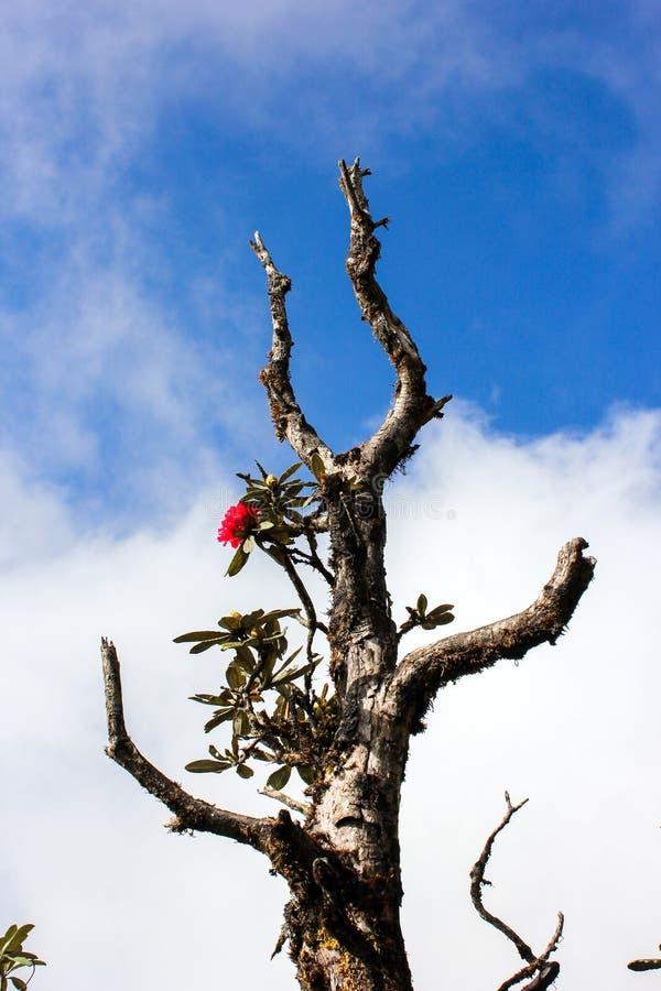 Torrt träd och en röd Rhodrodrendron blomma royaltyfri bild