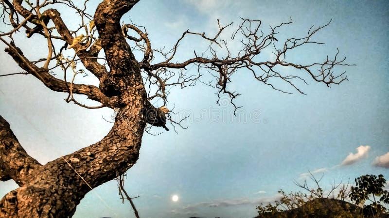 Torrt träd och måne royaltyfri fotografi