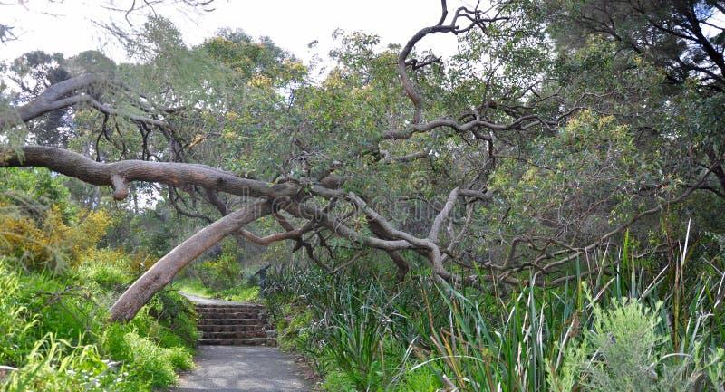 Torsione degli alberi: Percorso nel Park di re, Perth fotografie stock