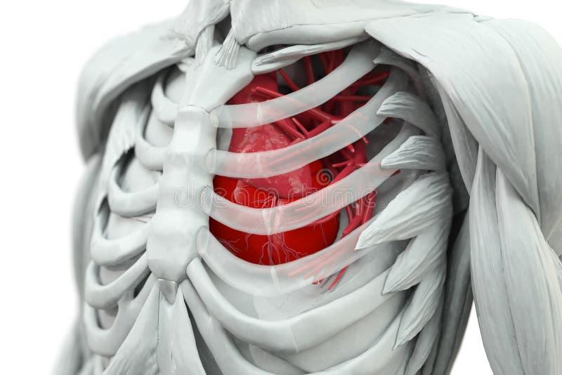 Torso con el corazón ilustración del vector