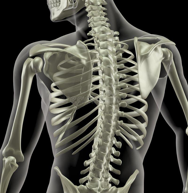 Torso de um esqueleto médico ilustração royalty free