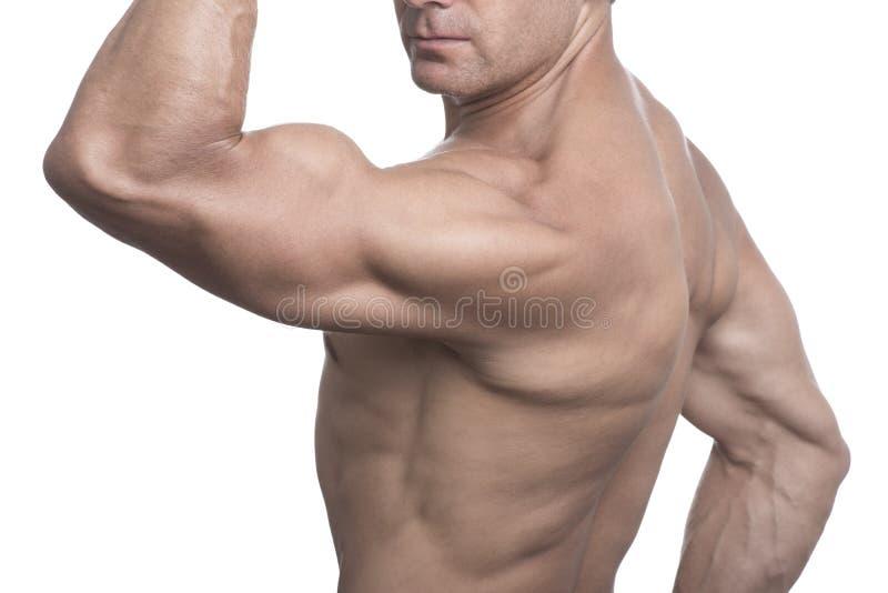 Torso des muskulösen Mannes aufwerfend auf weißem Hintergrund stockbilder
