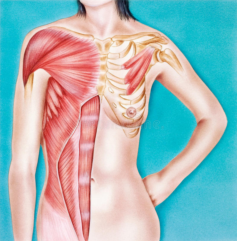 Torso - Female, Musculature Frontal View Stock Illustration ...