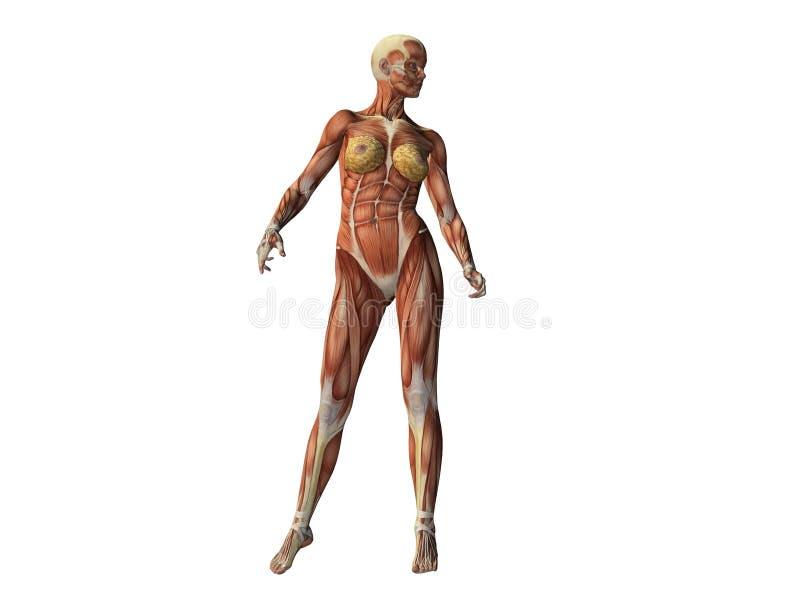 Torso Femenino Que Muestra Los Músculos Stock de ilustración ...