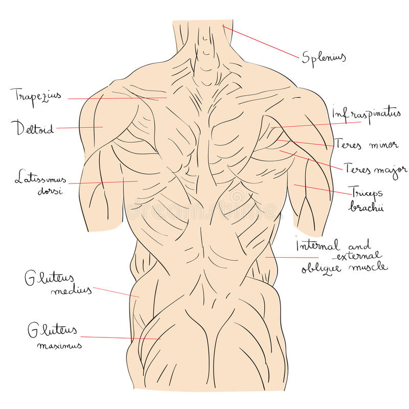 Torso muscles back stock illustration. Illustration of anatomy ...