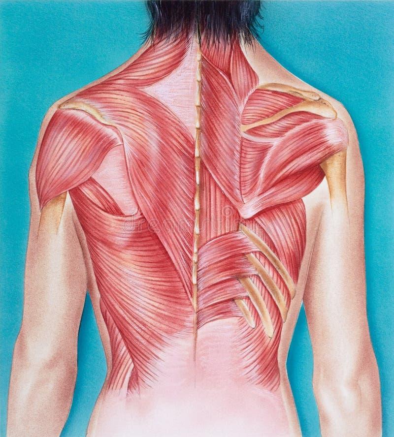 Torso - musculatura de um torso fêmea, vista dorsal ilustração do vetor