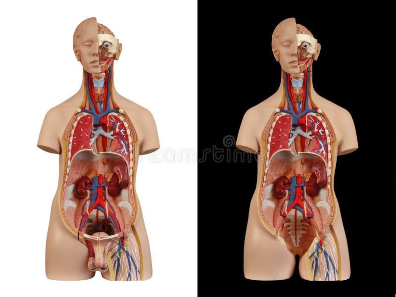 Torso unisex modelo anatómico fotos de archivo libres de regalías