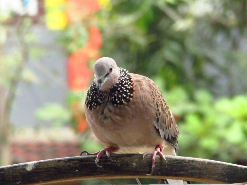 Tortelduifvogel in een open kooi met verbindende voeten royalty-vrije stock afbeeldingen