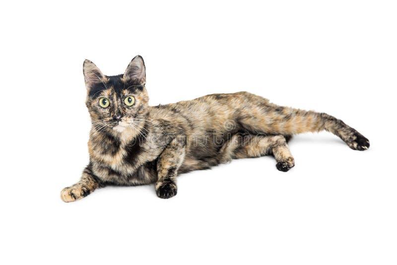 Tortie bonito Cat Lying no branco fotos de stock
