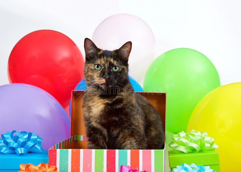 Tortie cat in a birthday present, surprise party stock photo
