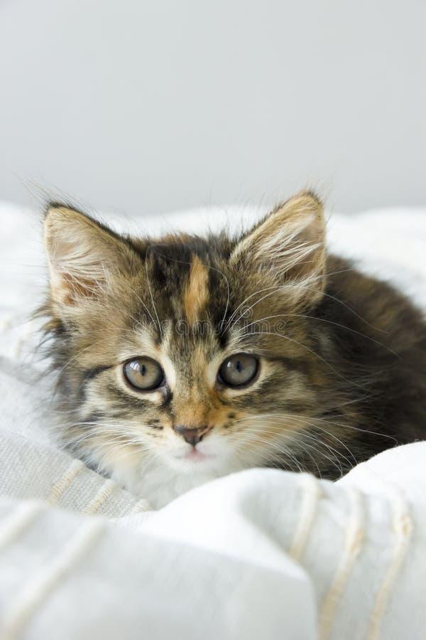 Tortie die Maine Coon-kat op een beige deken kleuren royalty-vrije stock foto's
