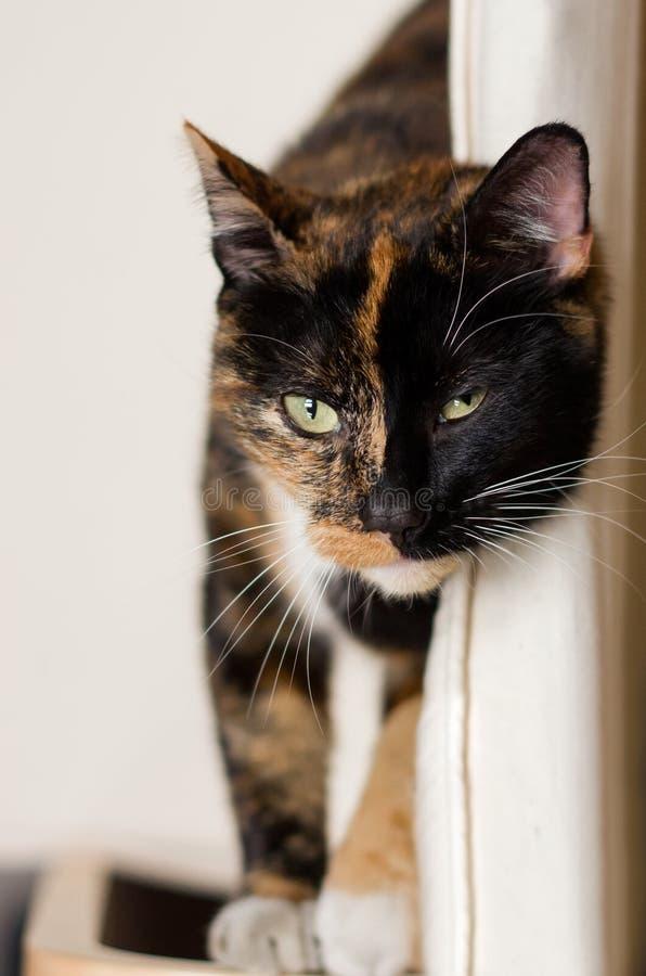 Tortie katt royaltyfri bild