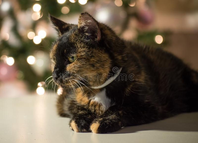 Tortie katt som poserar under hennes julfotofors royaltyfria foton