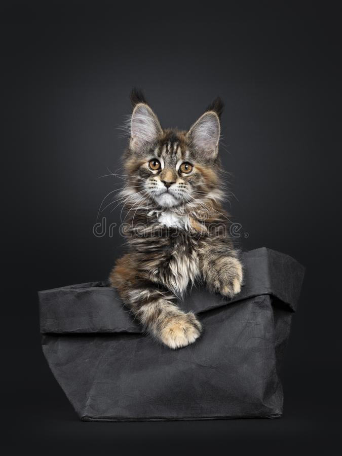 Free Tortie Maine Coon Cat Kitten On Black Stock Photos - 143588883