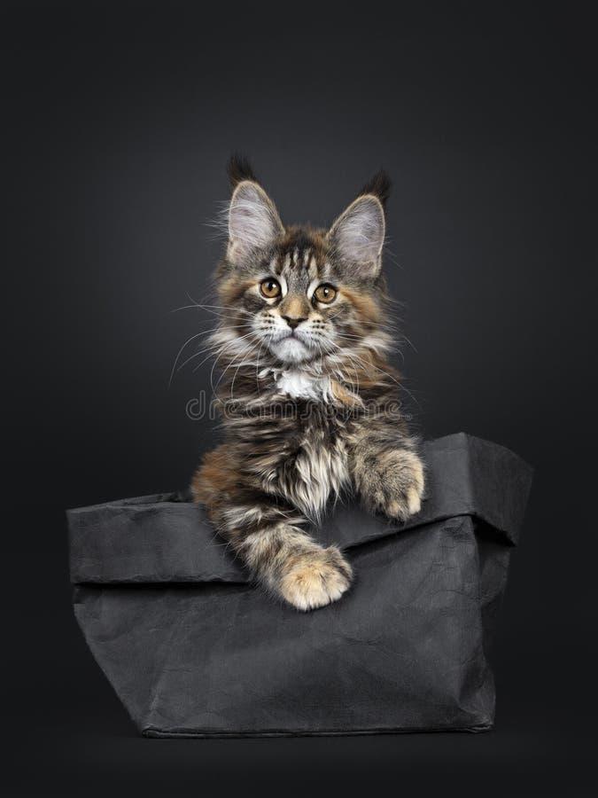 Tortie Maine Coon kattkattunge på svart arkivfoton