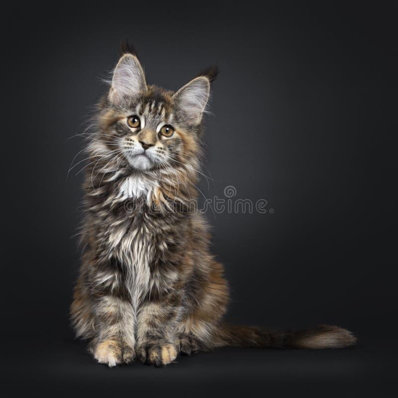 Tortie Maine Coon kattkattunge på svart arkivbild