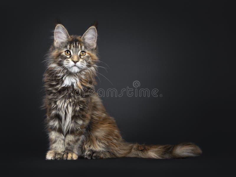 Tortie Maine Coon kattkattunge på svart arkivfoto