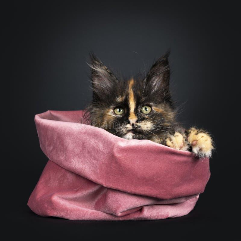 Tortie Maine Coon kattunge på svart arkivfoto