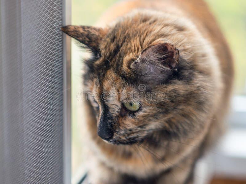 Tortiecat ser ut fönstret till och med det skyddande rastret royaltyfri bild