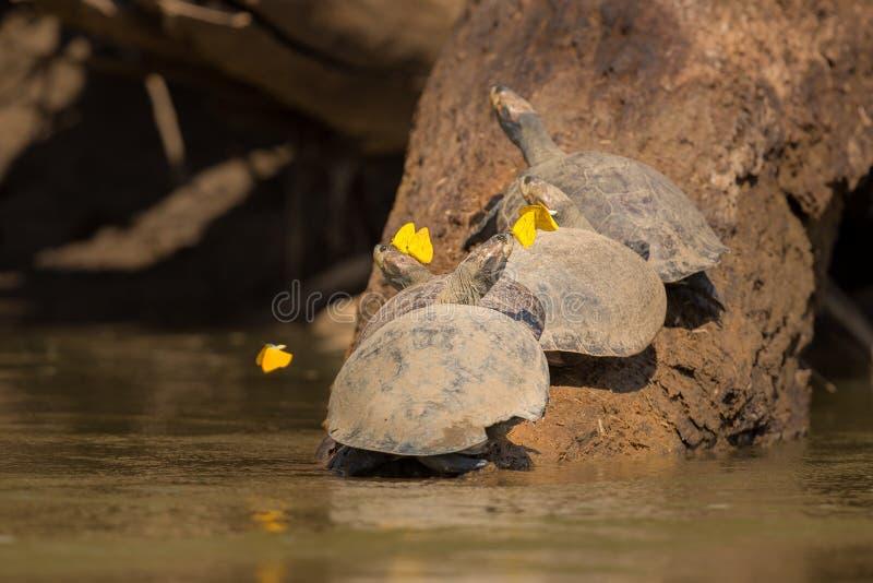 Tortois med fjärilar på ett träd i Peru royaltyfri bild