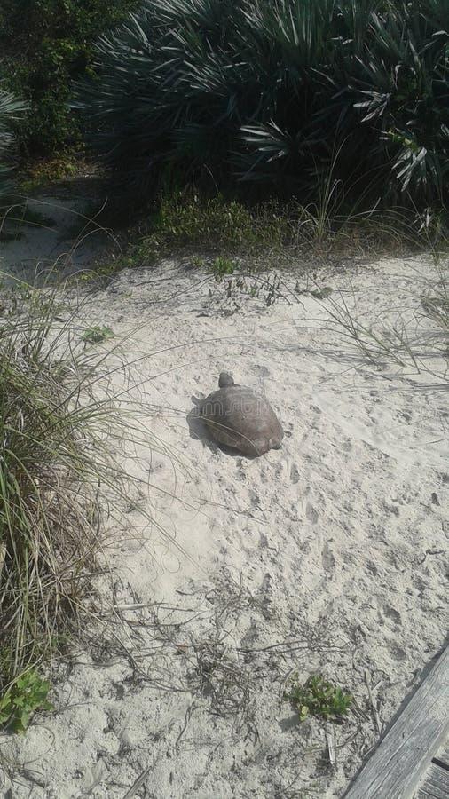 Tortoise που πηγαίνει στην παραλία στοκ εικόνες με δικαίωμα ελεύθερης χρήσης