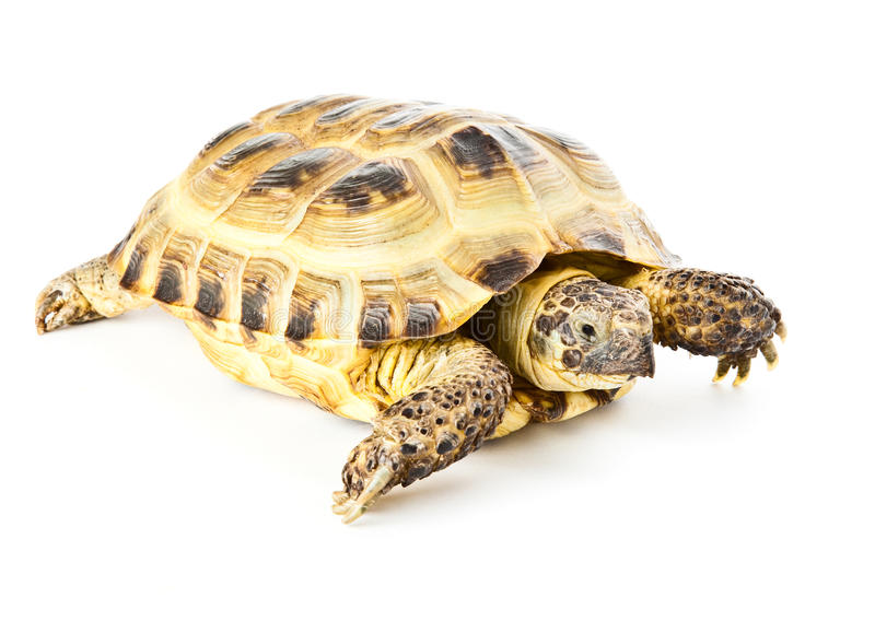 Tortoise. Small tortoise. Isolated on the white background royalty free stock images