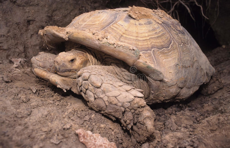 Tortoise. The giant Sulcata tortoise is the biggest tortoise on continental Africa. Capable of digging huge holes to survive dry periods royalty free stock photography