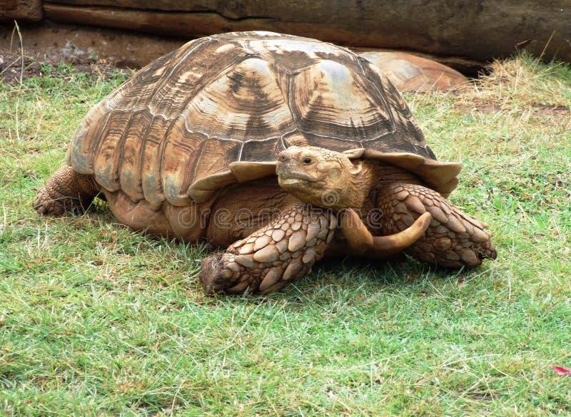 Tortoise fotografia stock