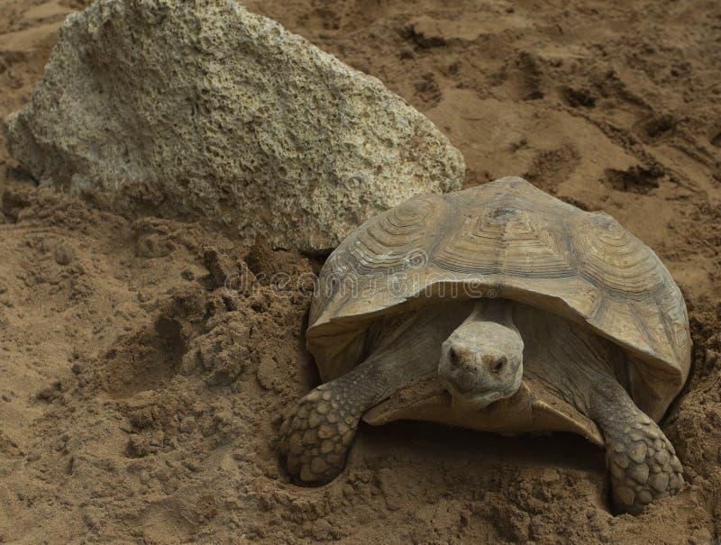 Tortoise. A giant tortoise from Loro Park stock photo