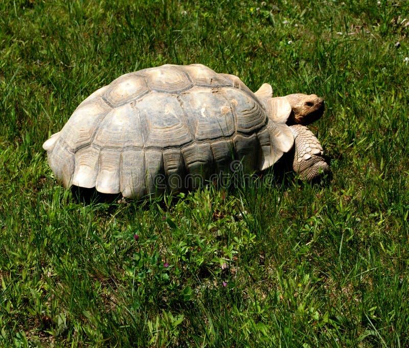 Download Tortoise stock image. Image of shell, walking, tortoises - 25409333