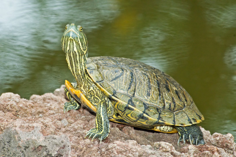 Tortoise. Look with head up stock photo