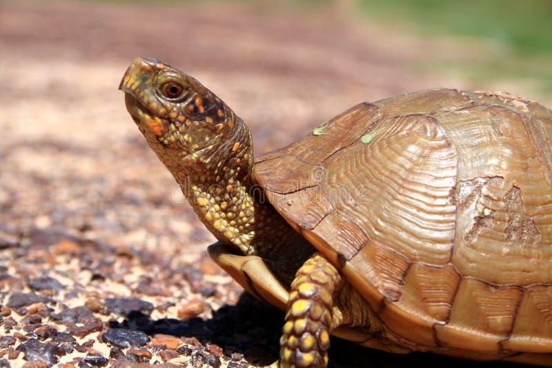Tortoise immagine stock