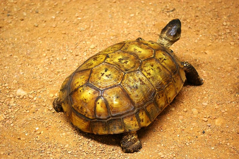 Tortoise. Desert tortoise in a wildlife museum display stock images