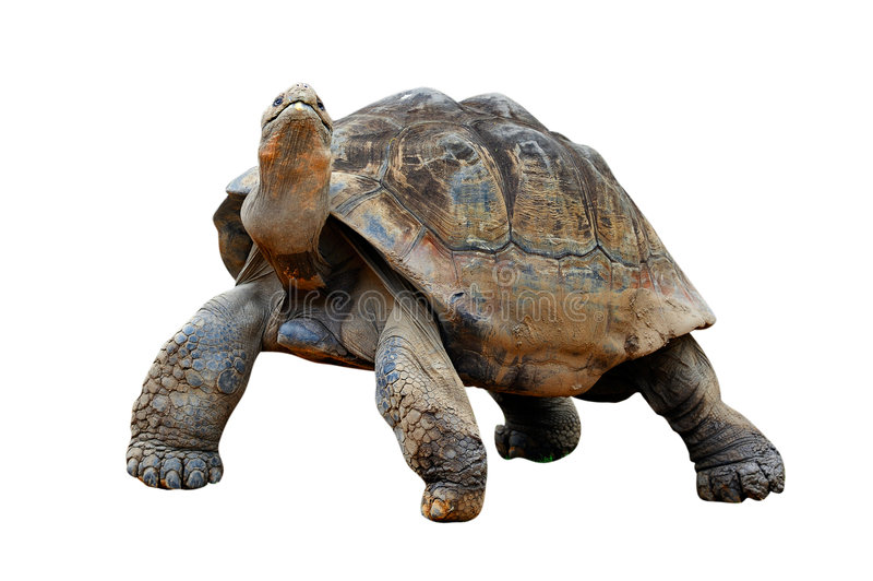 Tortoise. Standing with raised head stock images