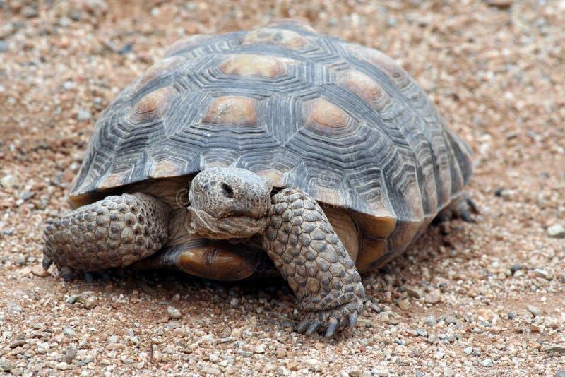 Tortoise. Desert Tortoise looking To Left royalty free stock image