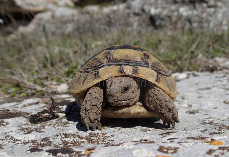 Tortoise baby on a rock stock image