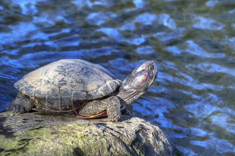 Tortoise che prende il sole dallo stagno fotografia stock