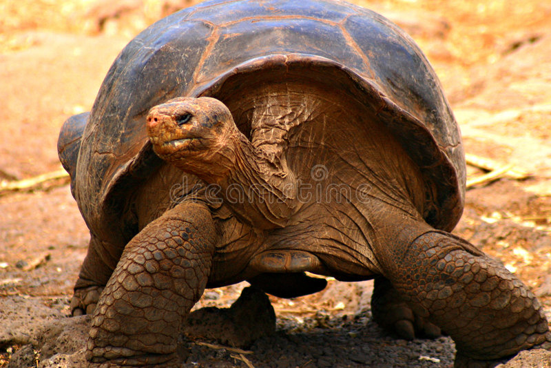 Tortoise del Galapagos immagine stock libera da diritti