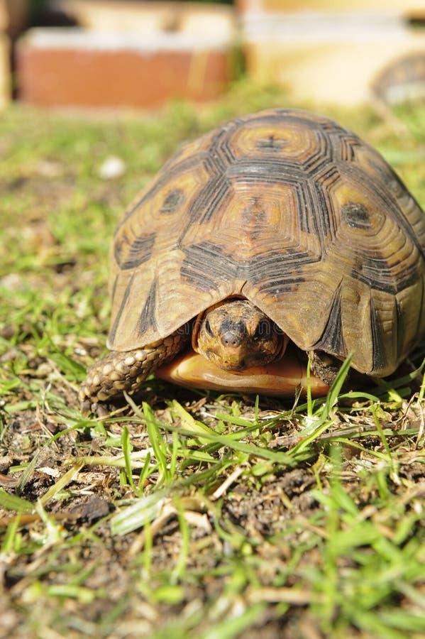 tortoise dell'erba fotografia stock libera da diritti