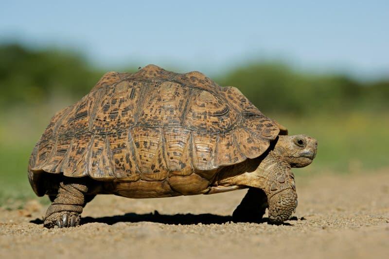 Tortoise della montagna immagini stock