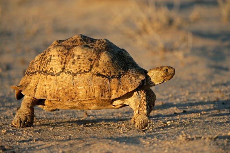 Tortoise della montagna immagini stock libere da diritti