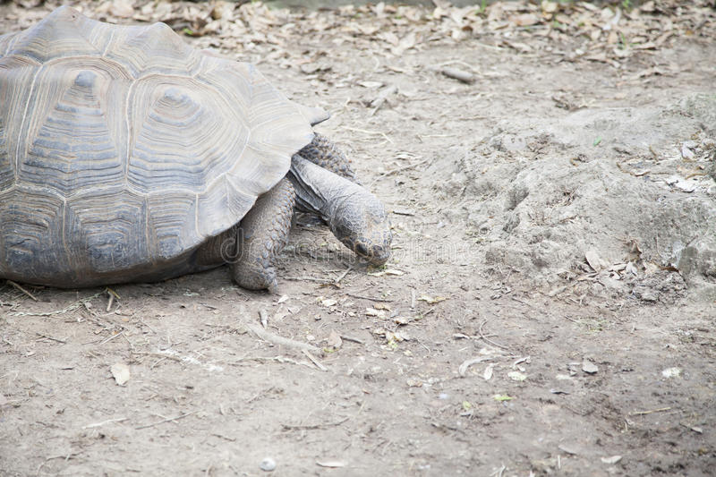 Tortoise. In the distance sifting through dust for food royalty free stock photo
