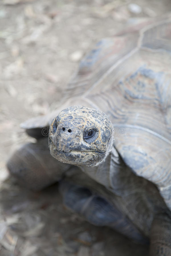 Tortoise. Extreme close up of a tortoise looking up stock photo