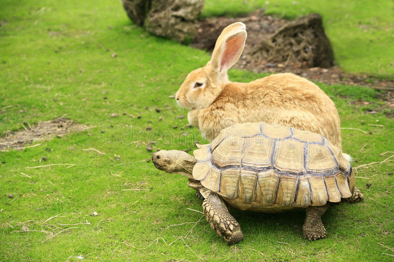 Tortoise and giant rabbit starting a race stock photography