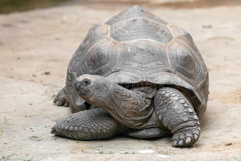 Tortoise gigante Aldabrachelys gigantea imagens de stock royalty free