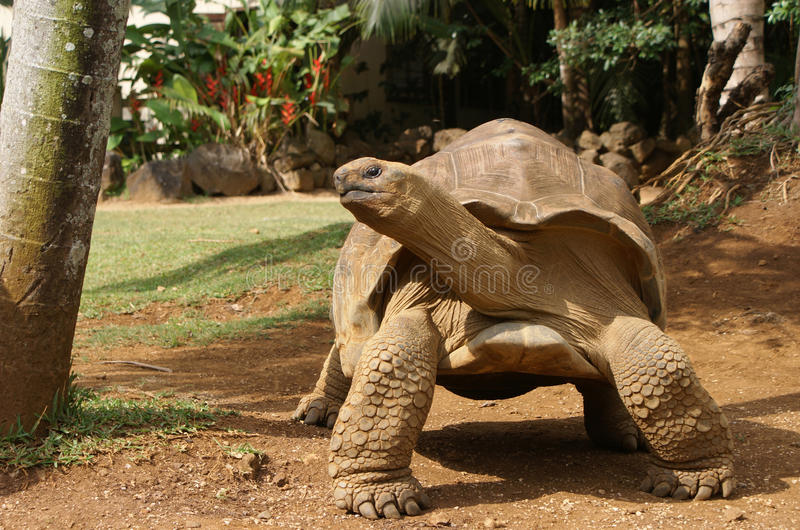 Tortoise gigante in una posa fotografia stock