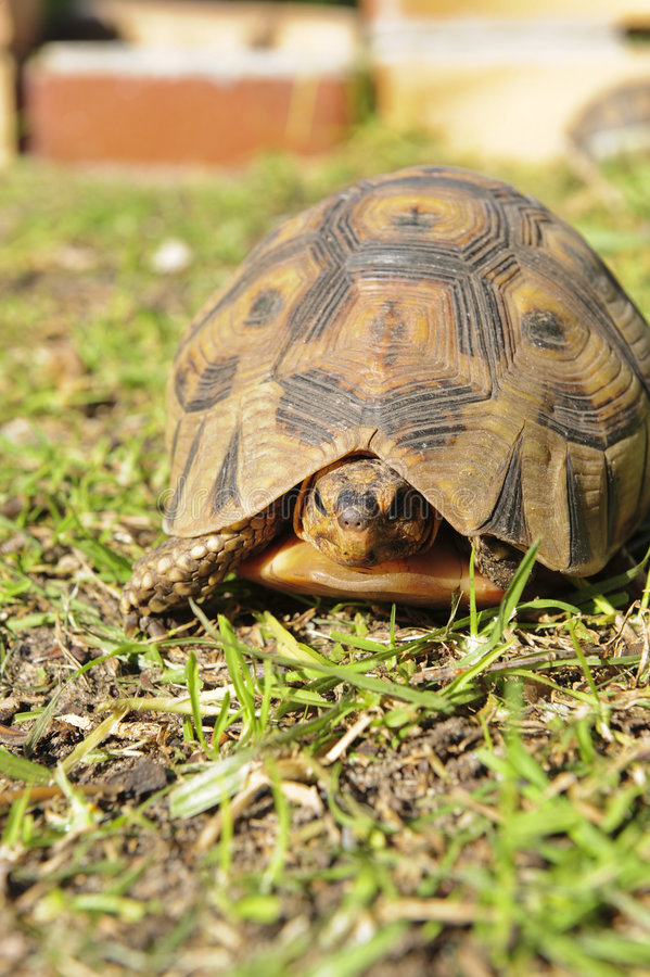 Tortoise in Grass royalty free stock photo