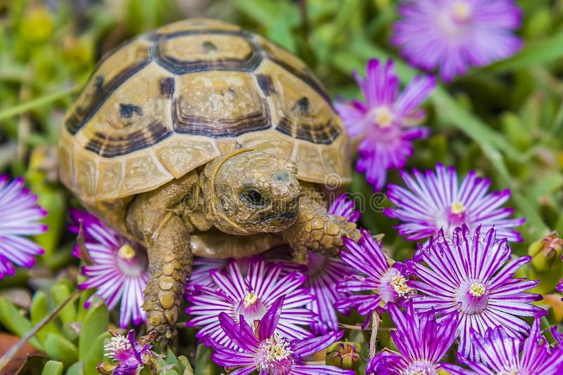 Tortoise hides in the grass among the flowers in spring in Israel royalty free stock photo