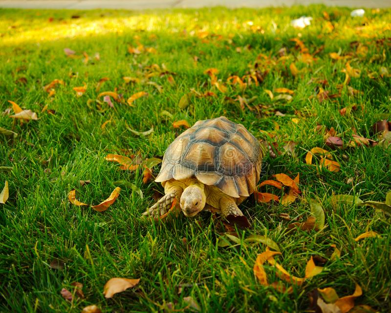 Tortoise walking through the grass stock images